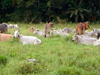 Ganadería en Colombia pasó de ocupar 14 a 39 millones de hectáreas: ONU
