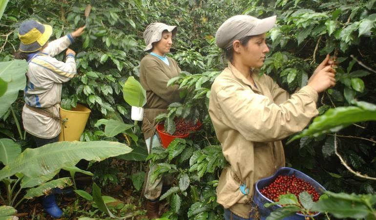 Sequía afecta producción cafetera en el Huila