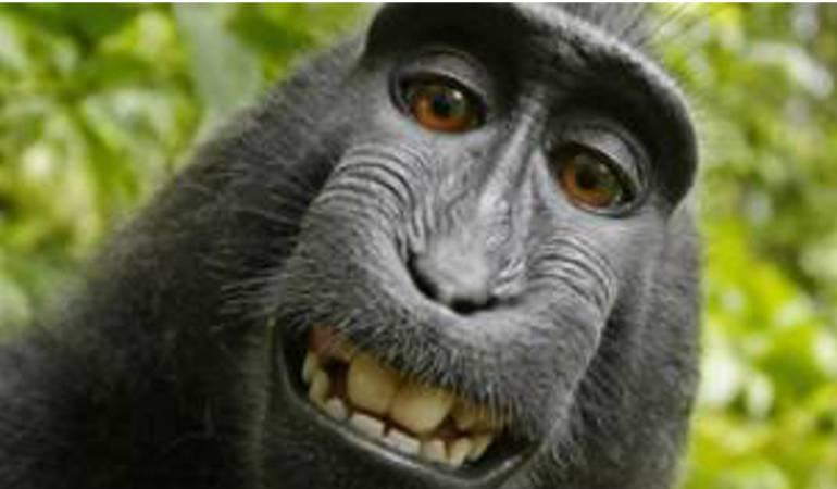 Mono se toma selfie: Niegan derechos de autor al mono que se hizo un selfie