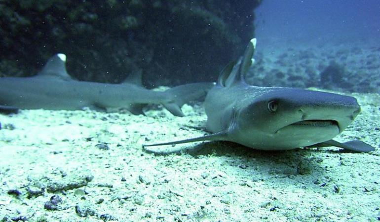 Más calor, más tiburones y más gente hacen de 2015 un año récord en ataques