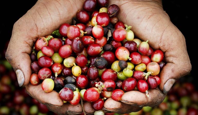 Producción de café en el 2016: Producción de café en el 2016 podría superar los 14,5 millones de sacos