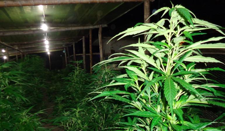 Consumo de marihuana: Licencias para la explotación medicinal de la marihuana tendrán vigencia de 5 años