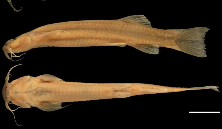 Fauna Colombiana: Nueva especie de pez gato en aguas del río Tetuán ...
