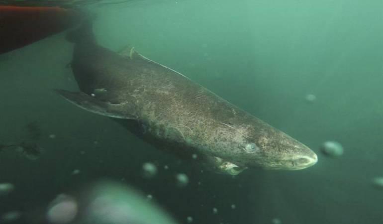 El tiburón de Groenlandia: El tiburón de Groenlandia es el vertebrado más longevo