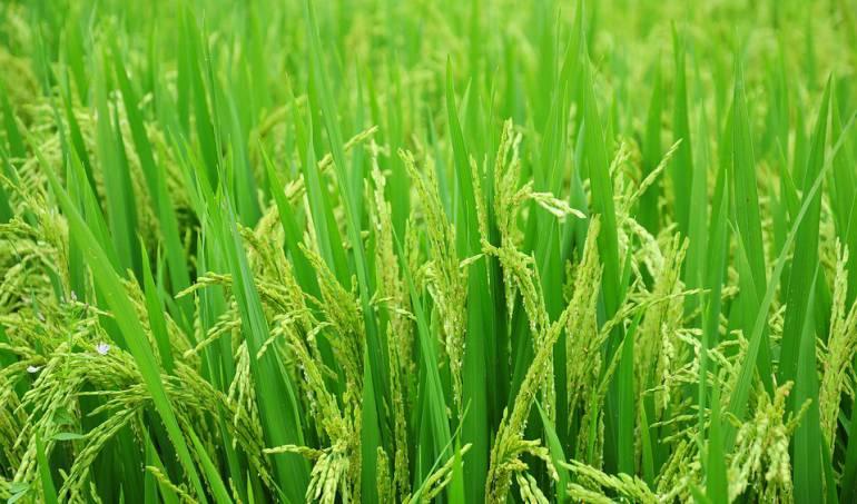 Precio del arroz al consumidor ha caído en un 12%: Fedearroz