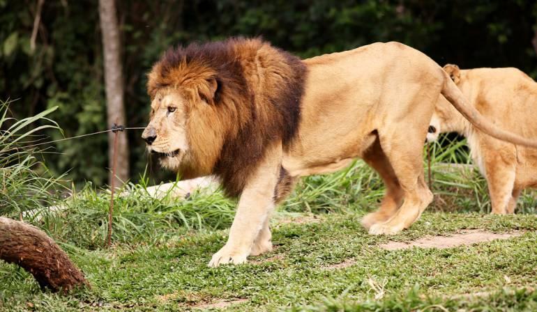 Leones decapitados y mutilados en Sudáfrica: Hallan tres leones decapitados y mutilados en Sudáfrica