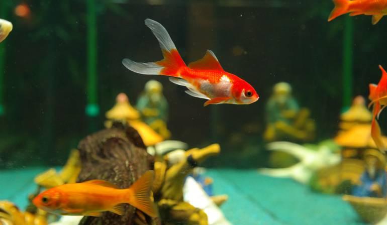 Peces hembra con genes masculinos: Descubren que altas temperaturas originan peces hembra con genes masculinos
