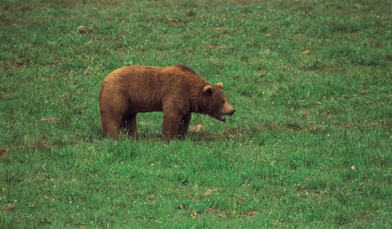 Ejemplo de oso pardo dando un recorrido.