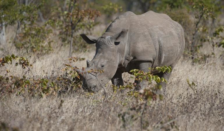 Ejemplo de un rinoceronte blanco en Zambia.