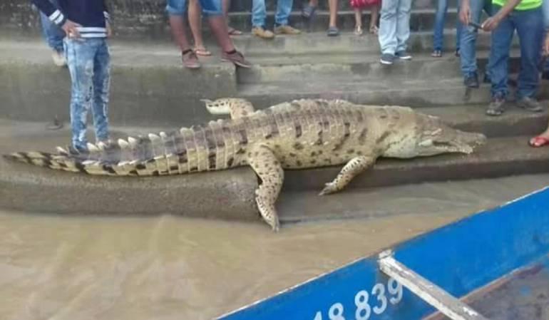 Mantan un caimán en Arauca: Con un arpón matan a caimán del río Arauca
