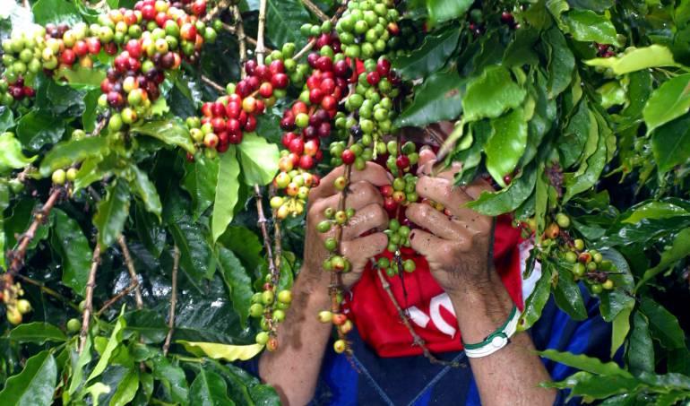 "Producción de café: ""Producción de café en 2017 será inferior a 14 millones de sacos"": Fedecafé"