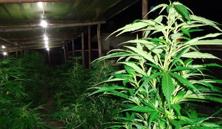Marihuana Colombia: Así será el uso la marihuana medicinal