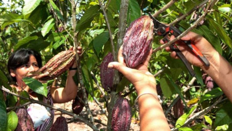 Gobierno ha erradicado un 62% de 50 mil hectáreas de coca