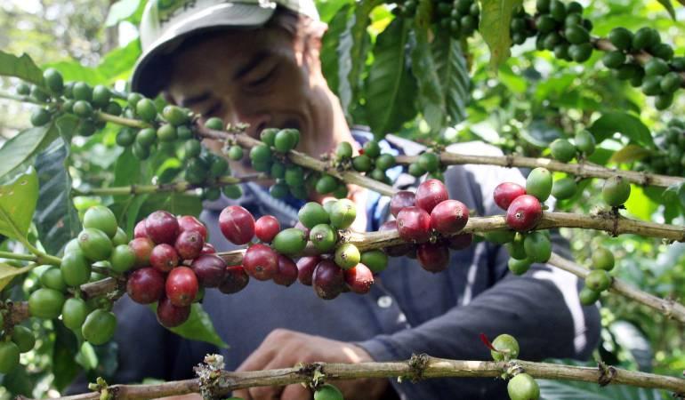 Café posclonflicto: El café, un modelo de paz en zonas del posconflicto: Fedecafé