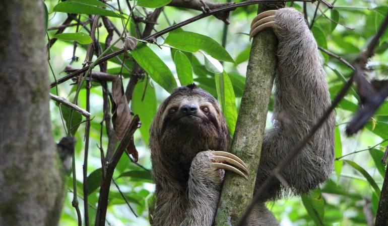 Ecoturismo en Latinoamérica, santuarios de perezosos: Costa Rica alberga uno de los mejores santuarios de perezosos del mundo