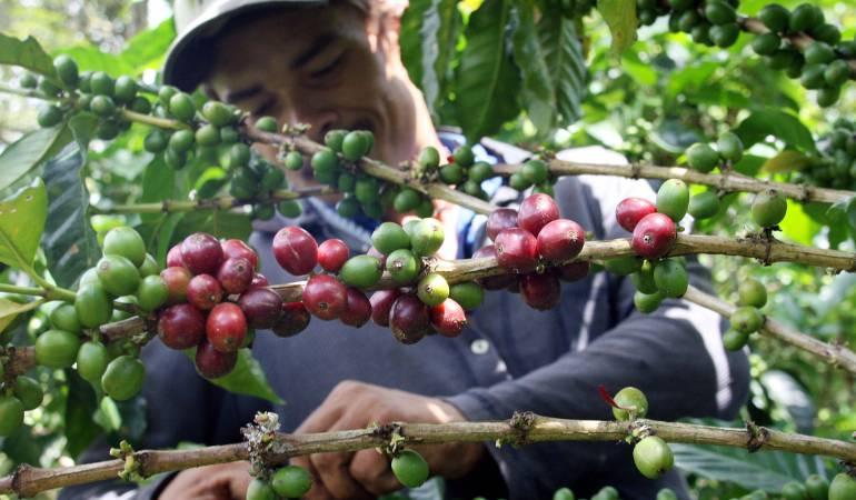 Producción de café colombiano crece un 19% respecto al año anterior