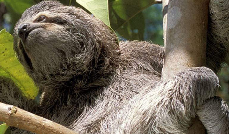 Costa Rica oso perezoso: Costa Rica alberga uno de los mejores santuarios de perezosos del mundo