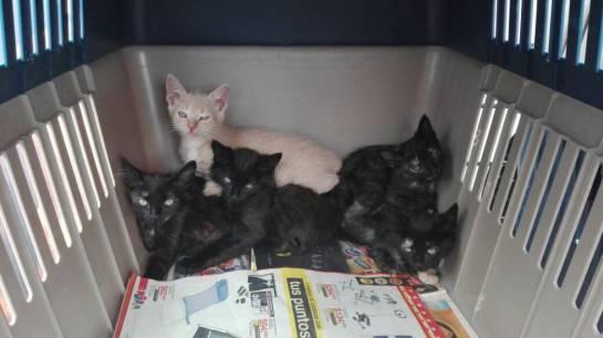 Gatos esperan adopción en Corferias.