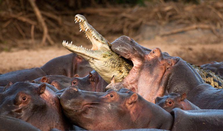 Cocodrilo Vs Hipopótamos