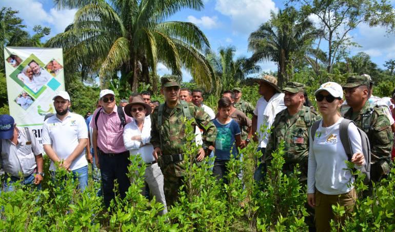 Arauca erradicación de 420 hectáreas de coca: Se inició erradicación de 420 hectáreas de coca en Arauca