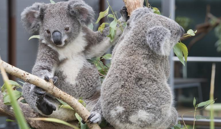 Pelea de Koalas detiene el tráfico en Australia