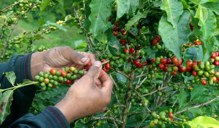 La producción colombiana de café se mantiene en 2017
