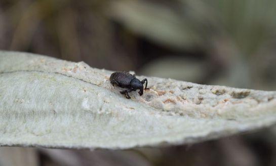 Lo que afecta a los frailejones de los paramos colombianos: Alerta por polillas, hongos y escarabajos que afectan a los frailejones