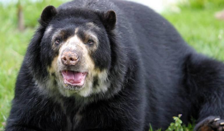 oso de anteojos