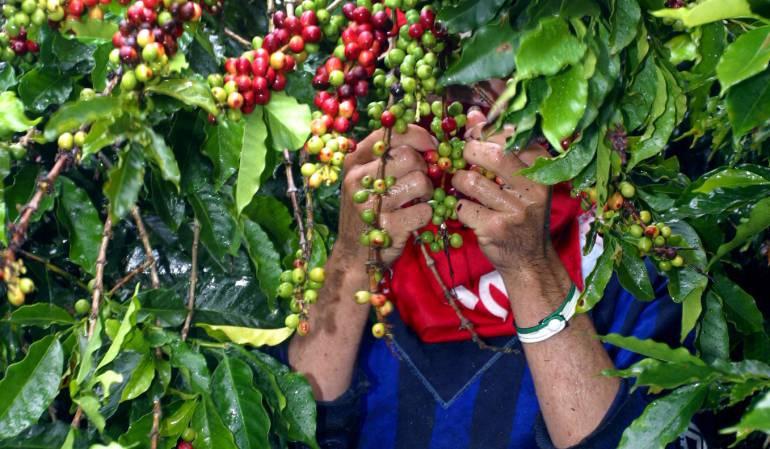 Recolección de café