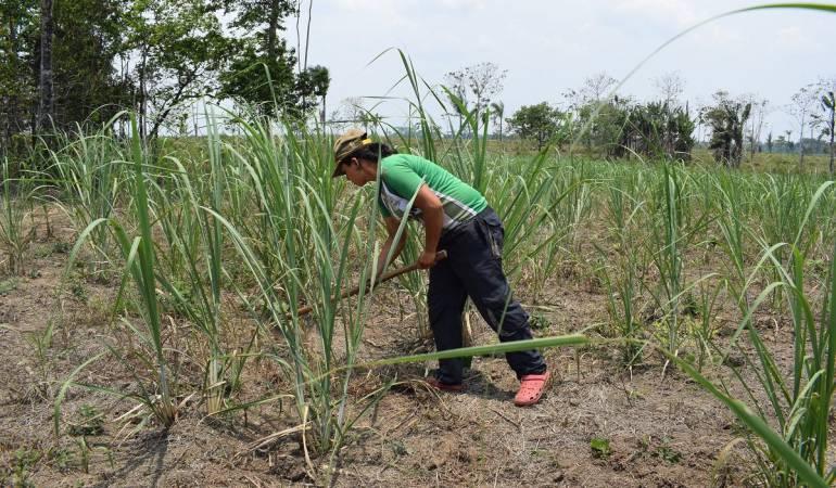 Farc Guaviare Bienestar: Excombatientes siembran ideas para cosechar bienestar en Guaviare