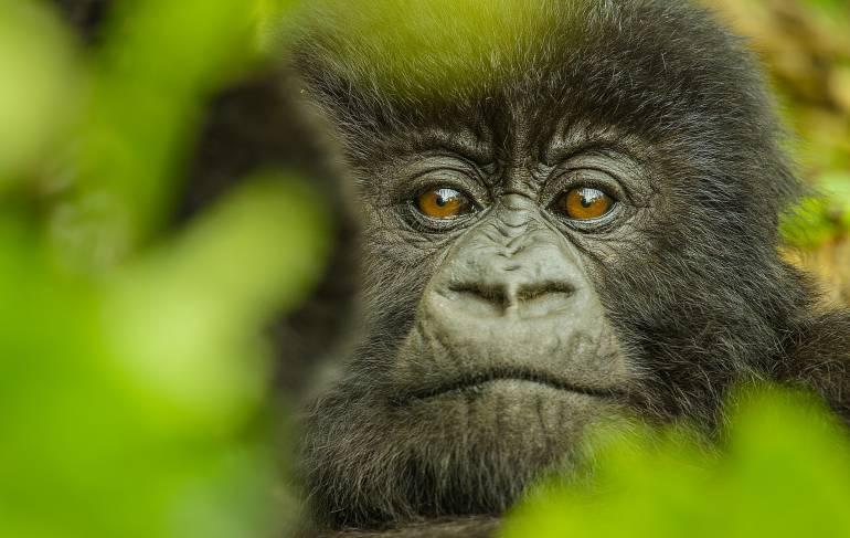 Animales en vía de extinción: Censo de gorilas en África indica declive en su población