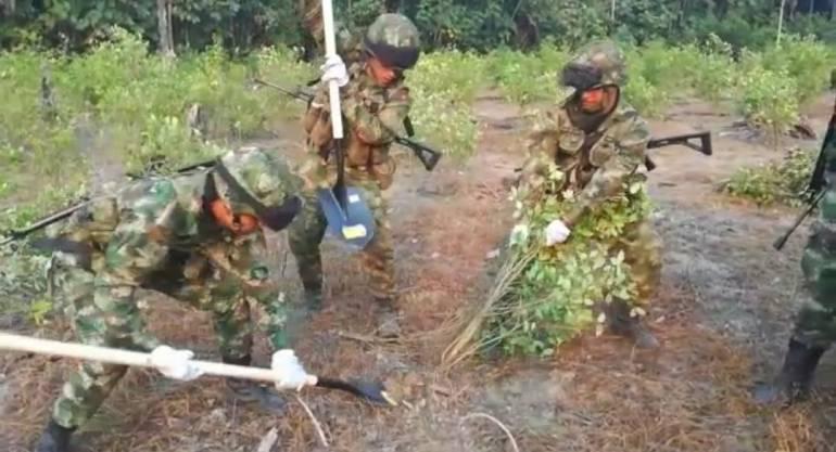 812.000 matas de coca fueron erradicadas por el Ejército en el Sur del país