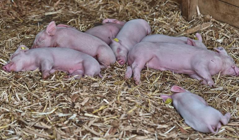 Extraño caso de cerdo siamés en Cuba: Nace en Cuba un cerdo con una cabeza y dos cuerpos