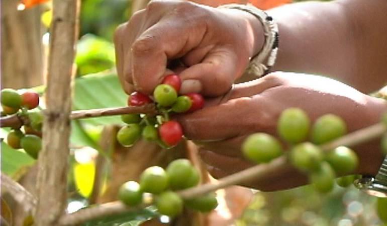 Árboles de Café: Gobierno buscará renovar 253.000 millones de árboles de café