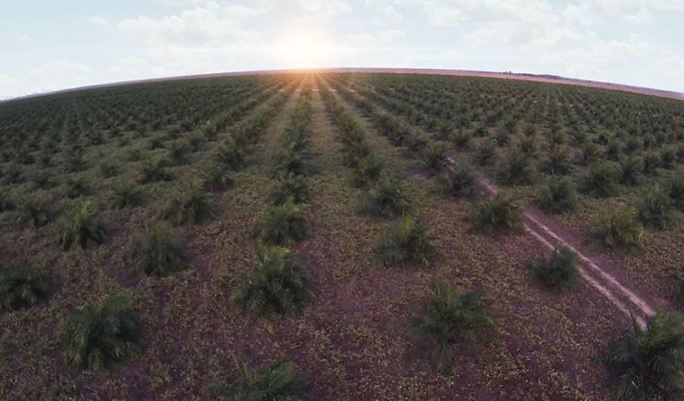 Cultivo palma de aceite