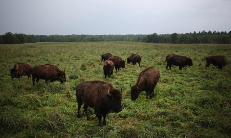 Carne de Búfalo: Consumo de carne de búfalo creció un 18.5% a corte de marzo: Minagricultura