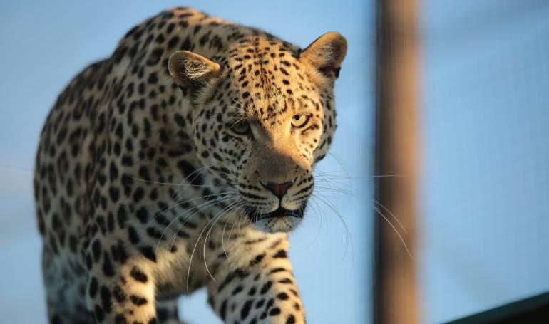 sacrificio de animales: Aldeanos matan leopardo de Sri Lanka, una especie en peligro de extinción