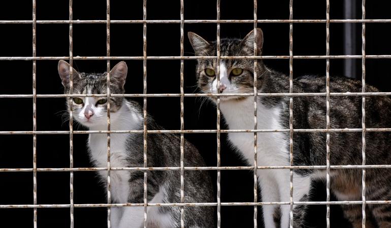 maltrato fauna: 3 años de cárcel para un keniano que mató a mil gatos para vender su carne