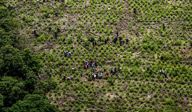 Coca Cultivos: Hectáreas cultivadas con hoja de coca en 2017 serían 179.000 en el SIMCI