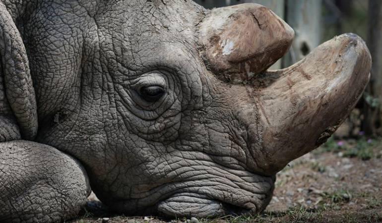 Animales en vía de extinción: Crean en laboratorio embriones híbridos de rinoceronte blanco casi extinto