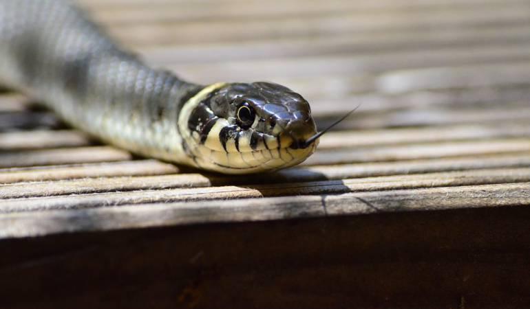 Mujer murió al ser mordida por serpiente que compró en internet