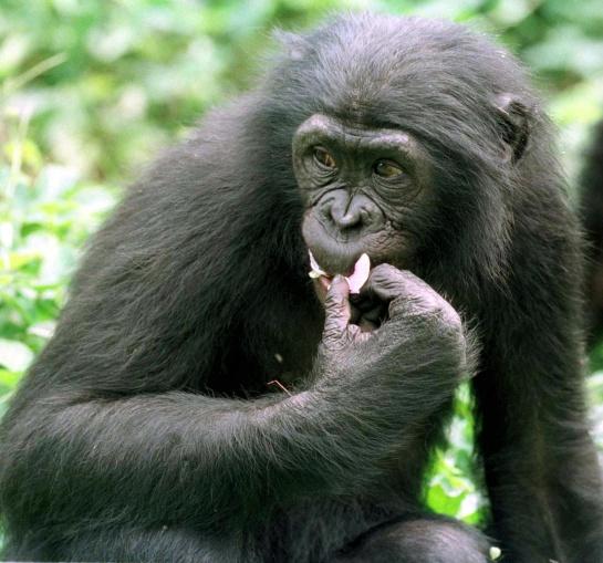 Chimpancé pigmeo