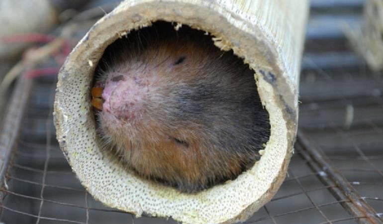 Nuevas especies de animales: Descubren una rara especie de roedor cerca a Machu Picchu