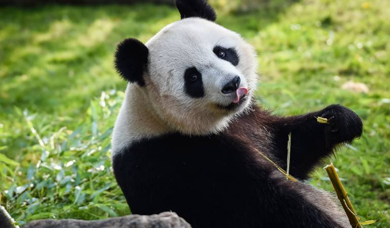 Osos panda: China abrirá su primer parque nacional de osos panda gigantes
