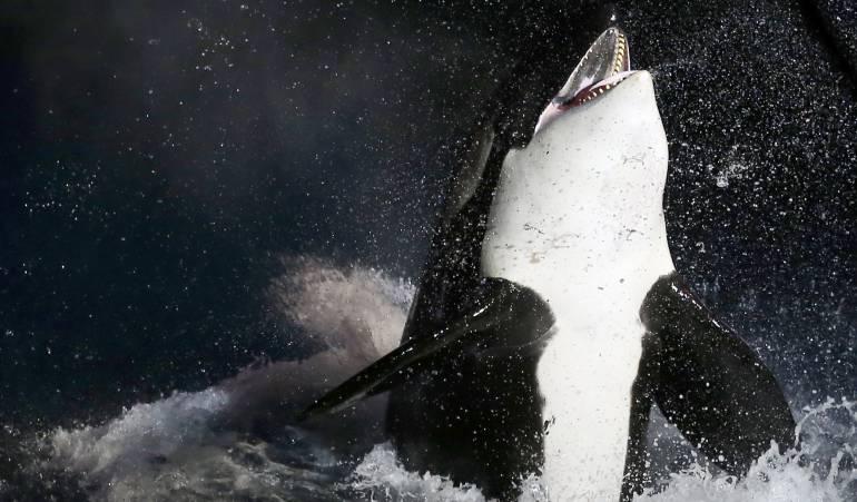 Ballenas: Estados Unidos recibe demanda por no proteger el hábitat de las orcas