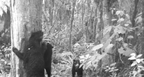 Osos en el sur del Huila: Familia de osos fue registrada en el sur del Huila