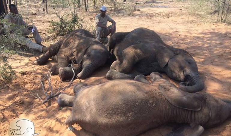 Elefantes asesinados: Registran la matanza de elefantes más grande en la historia de África