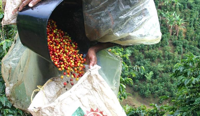 Baja producción del café.: En un 2,8% cayó la producción de café en Colombia en agosto