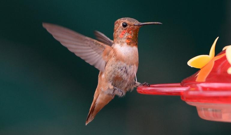 Colibrí en peligro de extinción: El colibrí, una ave amenazada y convertida en amuleto en nombre del amor