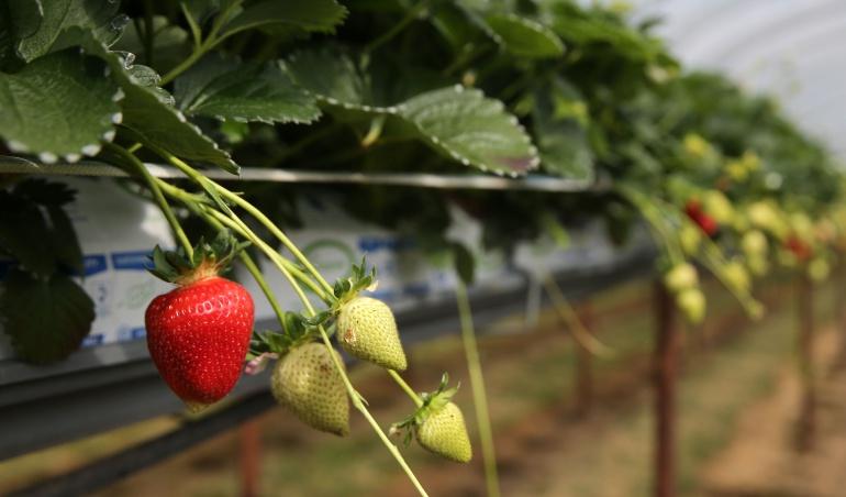 Alertan por agujas y alfileres encontradas dentro de fresas empacadas